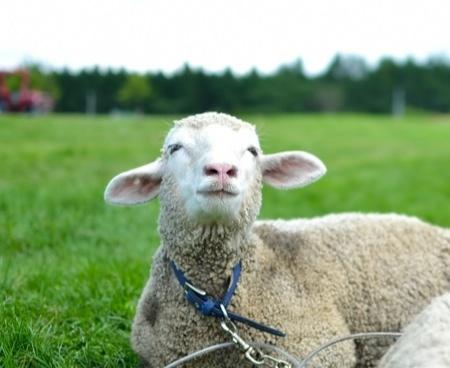 羊革イメージ